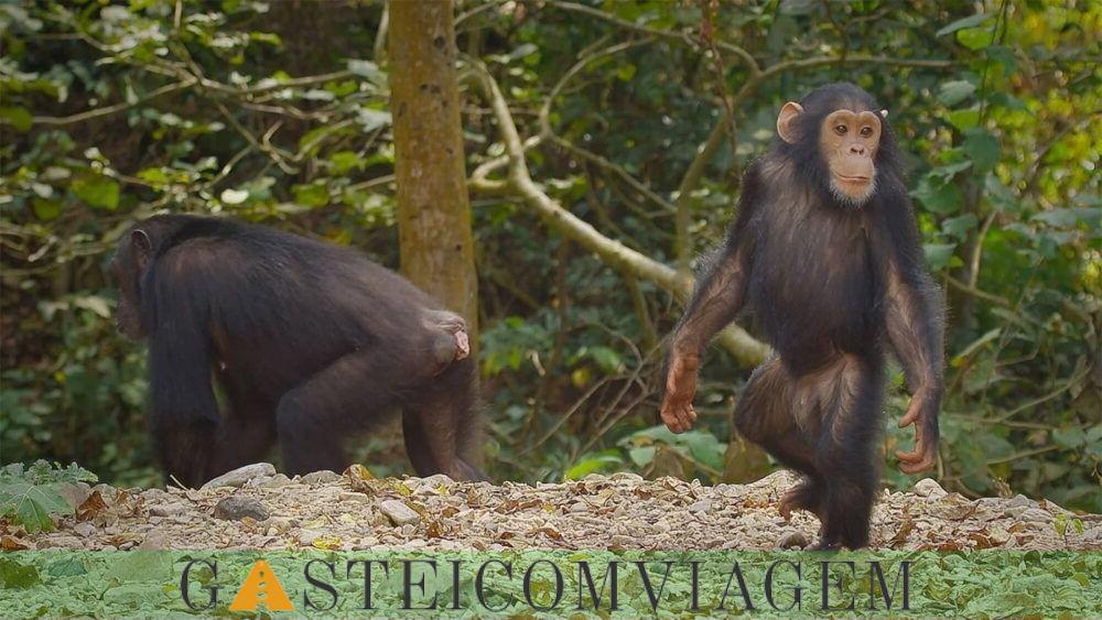 Conhecer o Parque Nacional Gombe Stream