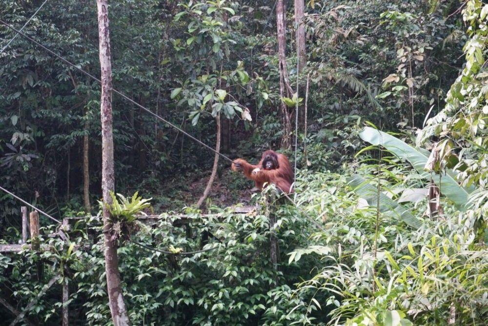 destino Malásia Semenggoh Nature Reserve