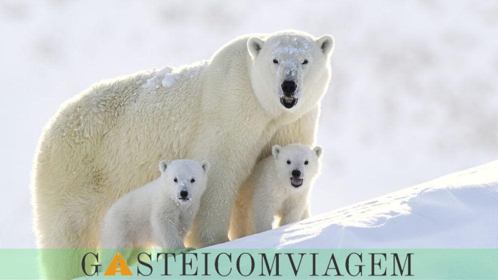 Destino Polar Bears