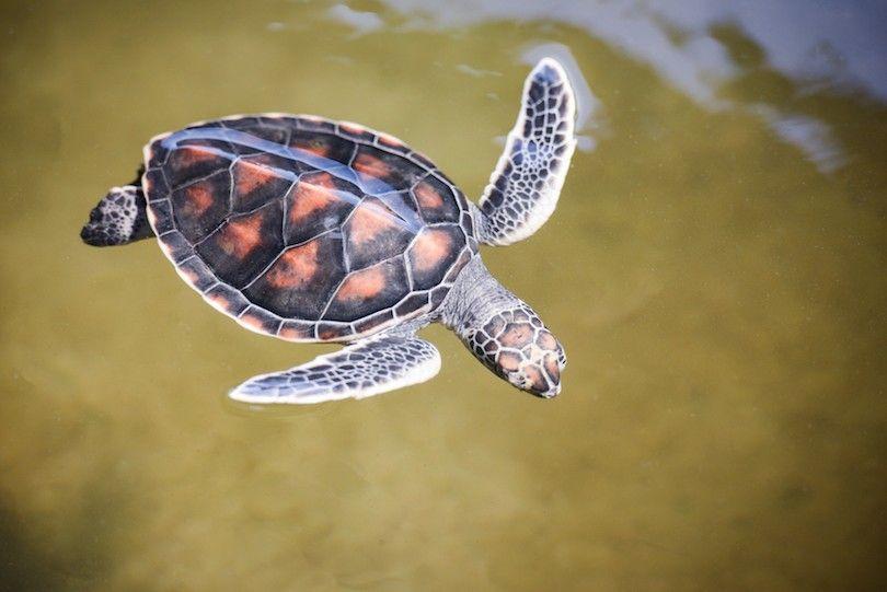 tartarugas marinhas fazenda